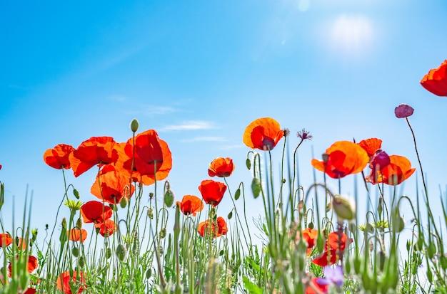 Rote mohnblumen gegen einen blauen himmel Premium Fotos