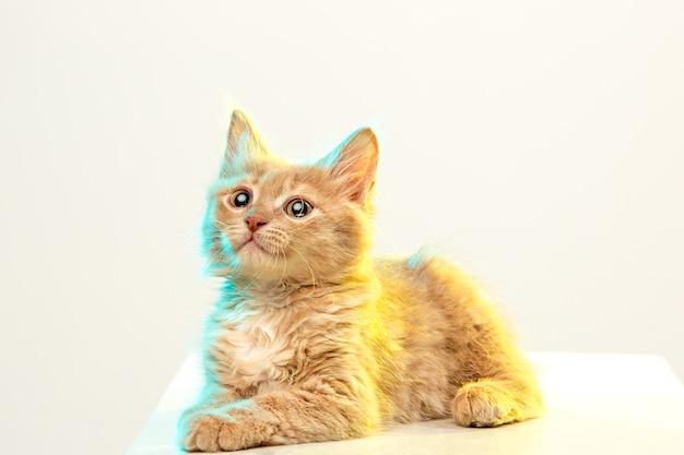 Rote oder weiße katze auf weißem studiohintergrund Kostenlose Fotos