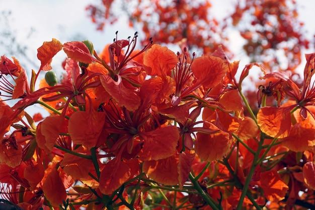 Rote pfauenblumen oder caesalpinia pulcherrima-blumen, die in hellen farben blühen Premium Fotos