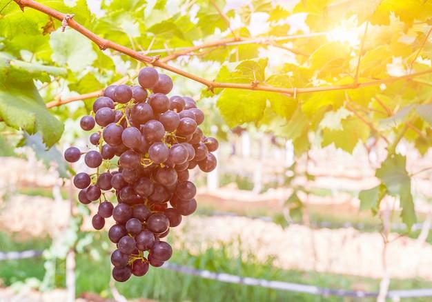 Rote trauben im weinberg bereit zur ernte Premium Fotos