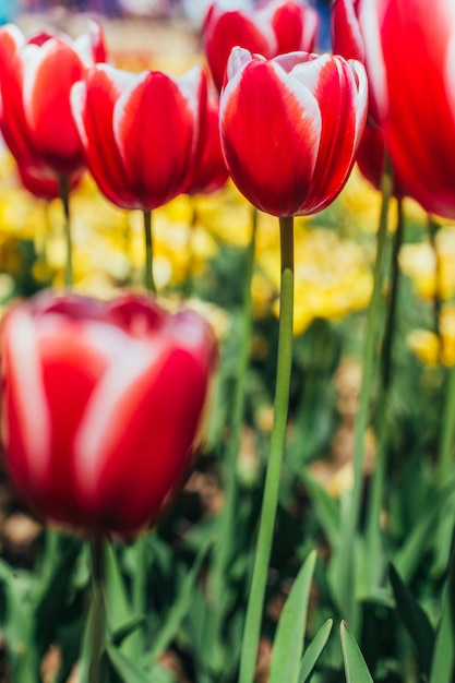 Rote tulpen mit schöner bouquetoberfläche, Premium Fotos
