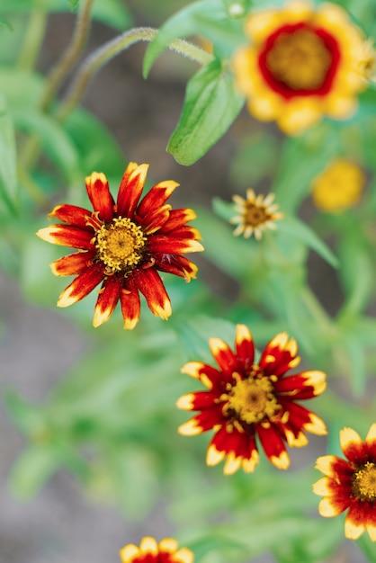 Rote und gelbe zinnienblüten im sommergarten Premium Fotos