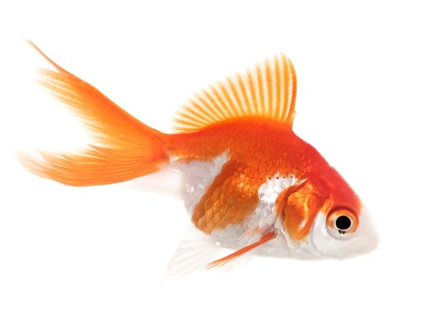 Roter goldfisch im aquarium Premium Fotos