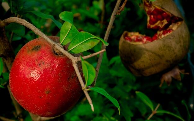 Roter granatapfel mit den grünen blättern, die im garten und in der hälfte eines reifen granatapfels wachsen Premium Fotos