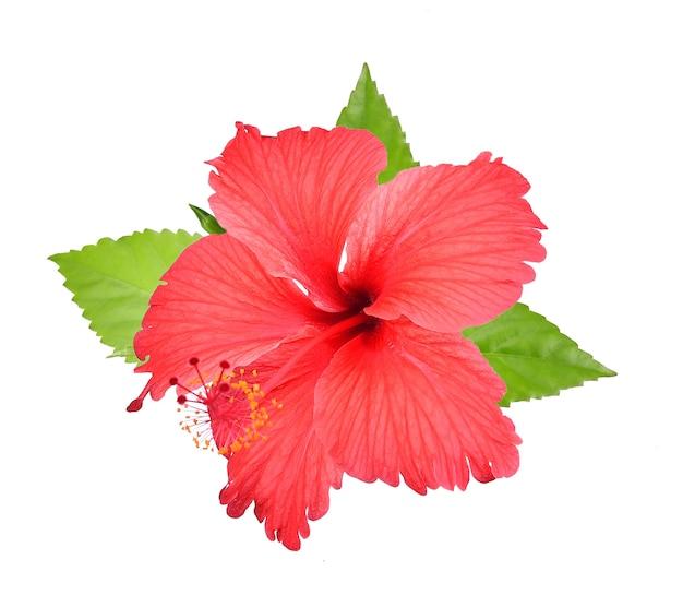 Roter hibiscus getrennt auf weißem hintergrund Premium Fotos