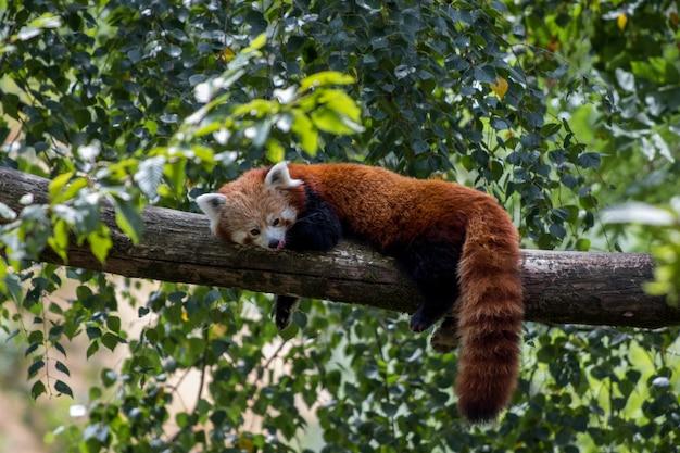 Roter panda, der auf einem ast liegt und seinen faulen tag genießt Kostenlose Fotos