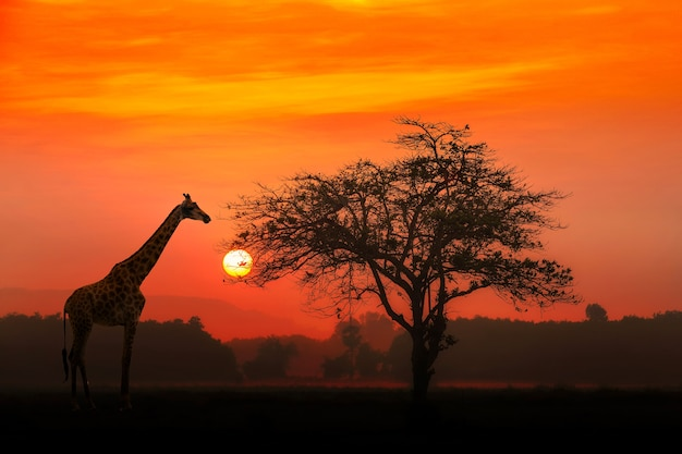Roter sonnenuntergang mit silhouettiertem afrikanischem akazienbaum und einer giraffe. Premium Fotos