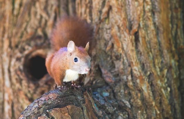 Rotes eichhörnchen auf einem ast nahe einer mulde im wald Premium Fotos