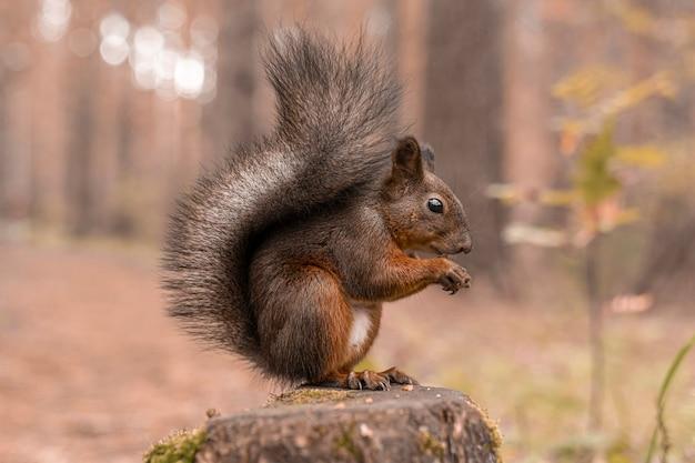 Rotes flauschiges eichhörnchen sitzt auf einem baumstumpf im herbstwald und knabbert nüsse. nahansicht. Premium Fotos