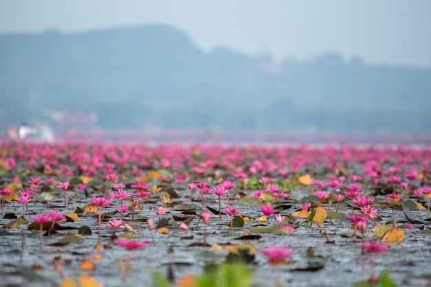 Rotes lotosmeer Premium Fotos