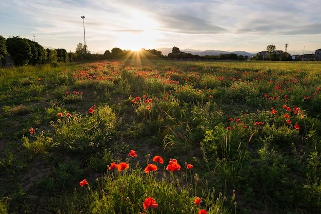 Rotes mohnblumenfeld, frühlingsjahreszeitblühen Premium Fotos
