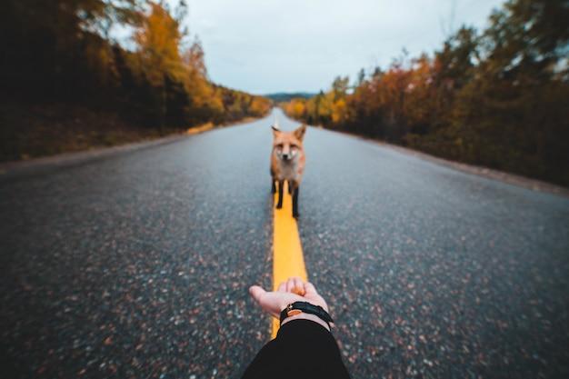 Rotfuchs allein auf asphaltstraße Kostenlose Fotos