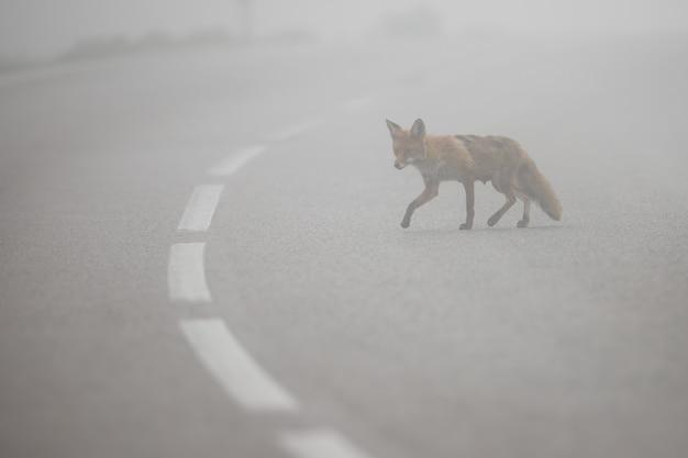 Rotfuchs, der asphaltstraße mit mittellinie im nebel kreuzt Premium Fotos