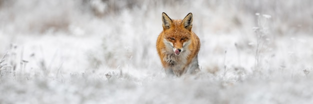Rotfuchs, der auf wiese in der winternatur vorwärts geht. Premium Fotos