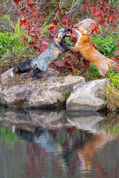 Rotfuchs und kreuzfuchs kämpfen mit reflexion im wasser Premium Fotos