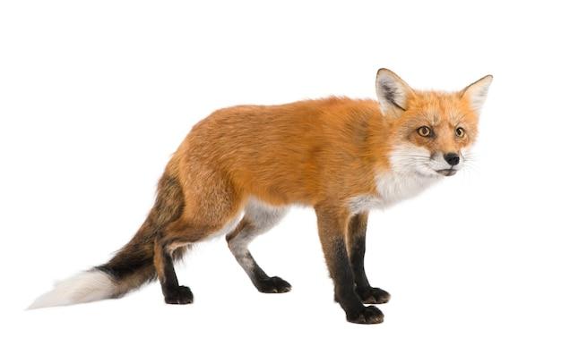 Rotfuchs, vulpes vulpes, isoliert auf weiß Premium Fotos