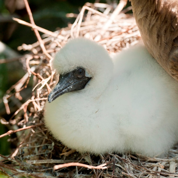 Rotfußtölpel (sula-sula) küken im nest, genovesa-insel, galapagos-inseln, ecuador Premium Fotos