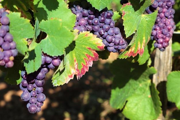 Rotweintrauben in einem weinberg wächst Kostenlose Fotos