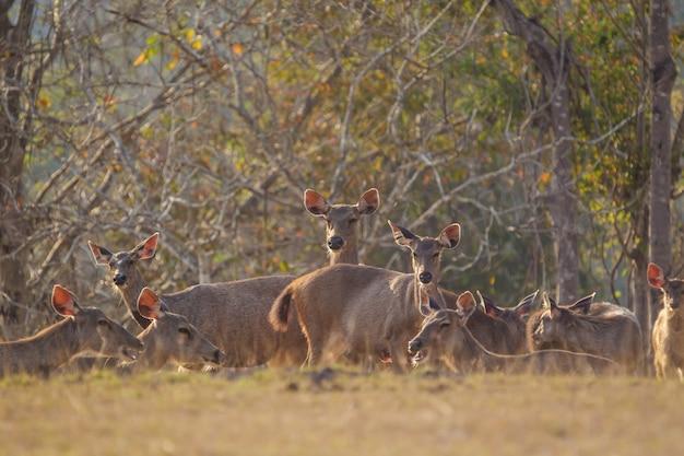 Rotwild im wilden, phu-keaw nationpark, chaiyaphum thailand Premium Fotos