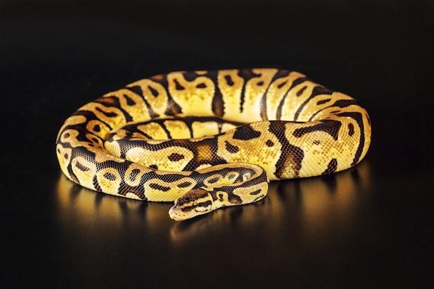 Royal python-pastellfarben Premium Fotos