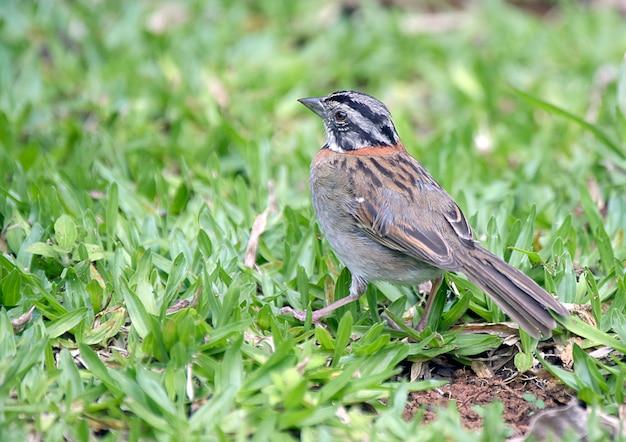 Rufous kragenspatzenjagd nach insekten im gras Premium Fotos