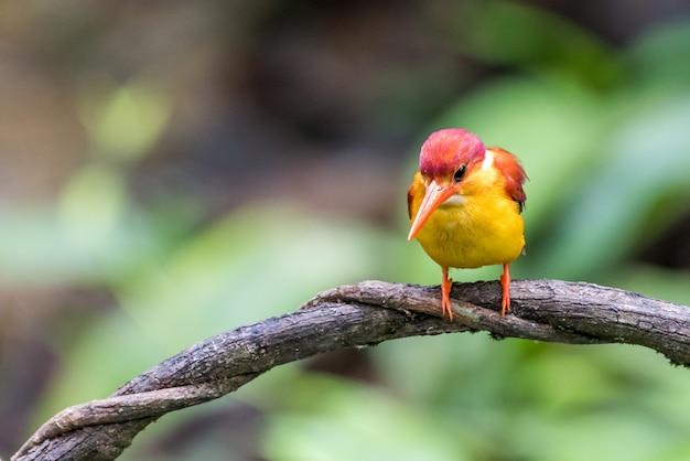 Rufous-unterstützter eisvogelvogel hockte und schaute Premium Fotos