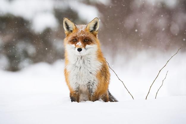 Ruhiger roter fuchs, der im winter auf dem schnee sitzt Premium Fotos