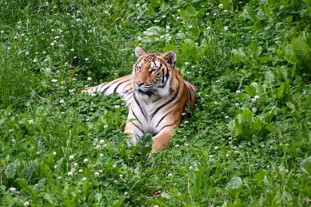 Ruhiger tiger, der auf dem gebiet liegt Premium Fotos