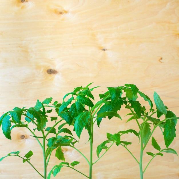 Sämlinge von tomaten frühling Premium Fotos