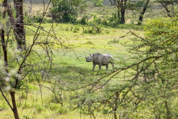 Safari. weißes nashorn in der savanne Kostenlose Fotos