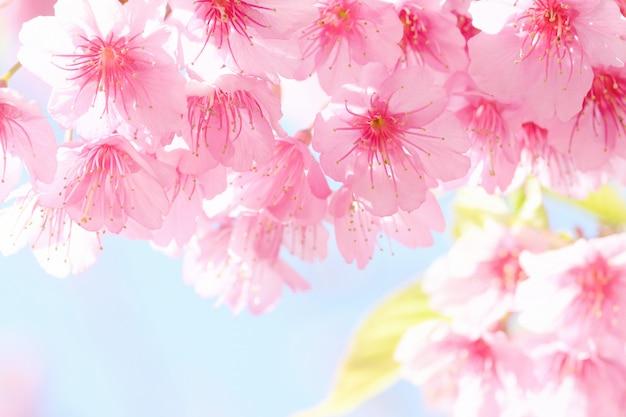 Sakura-blume Premium Fotos
