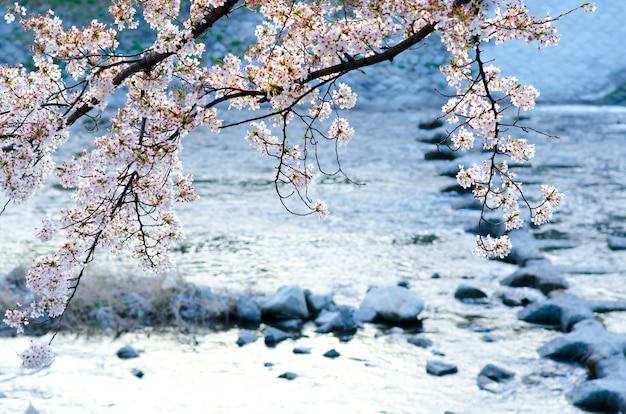 Sakura in der weichzeichnung, helle rosa kirschblüte auf dem undeutlichen hintergrund in japan. Premium Fotos