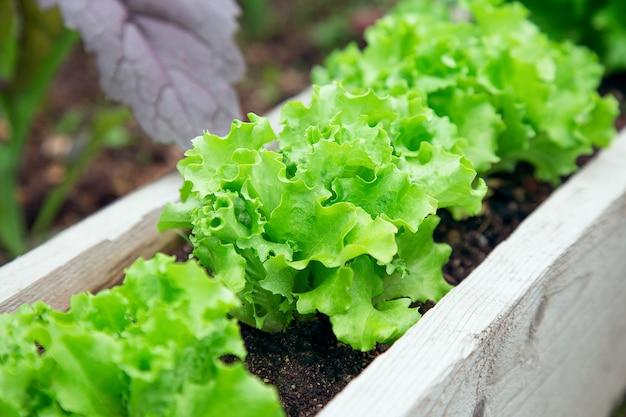 Salat in folge im garten gepflanzt. salatbett im sommer Premium Fotos