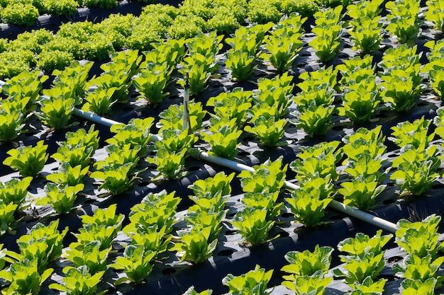 Salatplantage übersicht Premium Fotos
