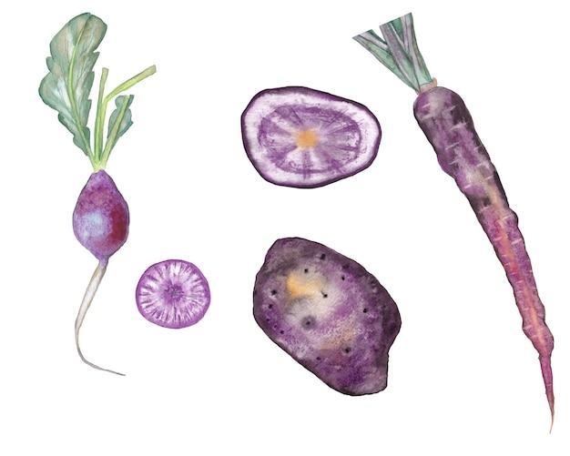 Satz der violetten karotte, der kartoffel und des rettichs mit scheiben. aquarell abbildung. Premium Fotos