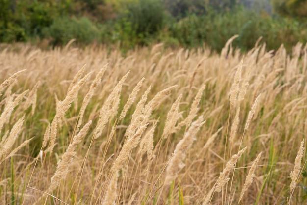 Savannah grass field in der sonnenhintergrundbeleuchtung, funkeln mit sonnenlicht am mittag. Premium Fotos