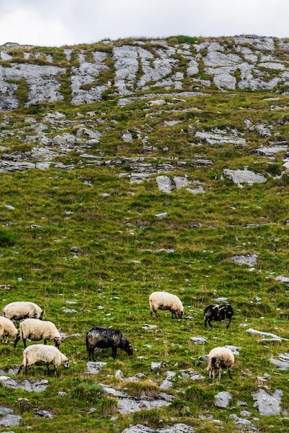 Schafe auf den bergfeldern. Premium Fotos