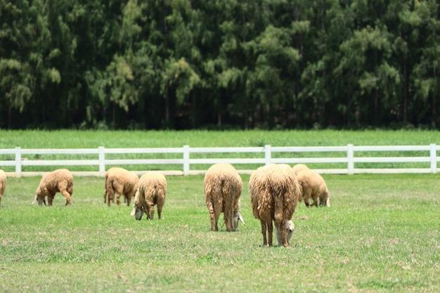 Schafe auf der farm Premium Fotos