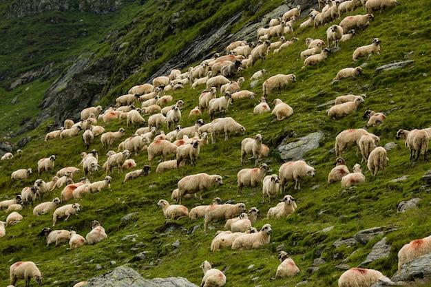 Schafe auf einer wiese in den bergen. schöne naturlandschaft auf transfagarasan-bergen in rumänien Premium Fotos