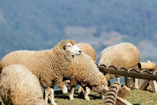 Schafe auf schöner bergwiese Premium Fotos