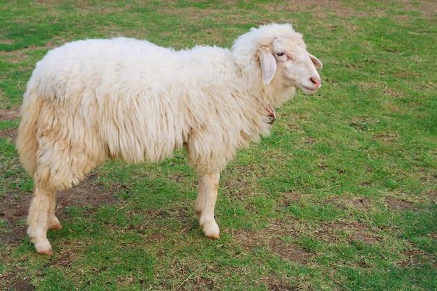 Schafe, die gras auf dem gebiet essen Premium Fotos