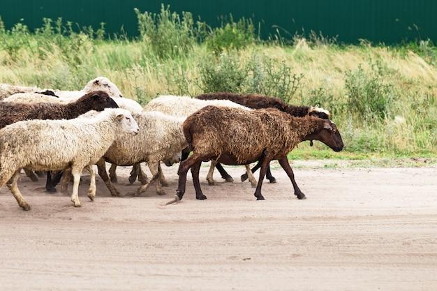 Schafe gehen auf die weide. Premium Fotos