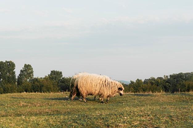 Schafe grasen auf einem grünen land Kostenlose Fotos
