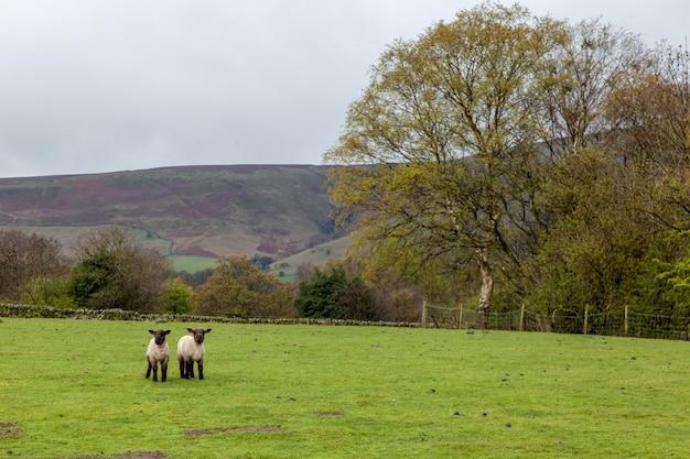Schafe in einem grünen feld, umgeben von hügeln unter einem bewölkten himmel in großbritannien Kostenlose Fotos