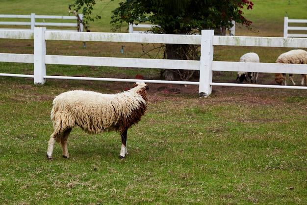 Schafe in einer wiese auf grünem gras Premium Fotos