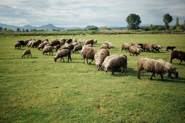 Schafherde des langen schusses, die gras auf weide isst Kostenlose Fotos