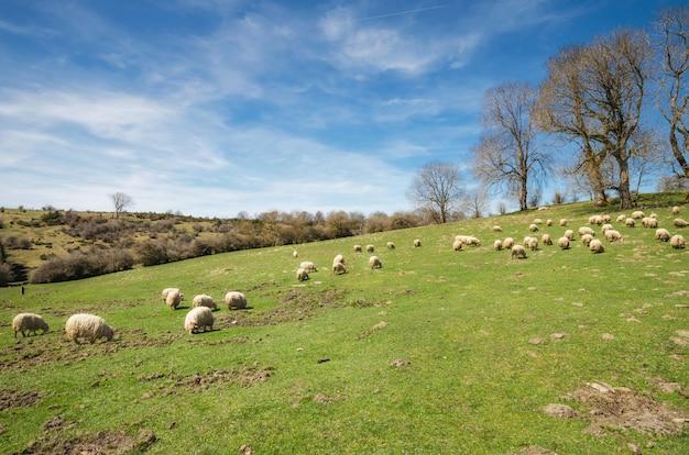 Schafherde, die auf bergwiese weiden lässt Premium Fotos