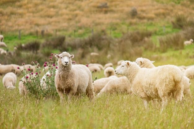 Schafherde, die im grünen bauernhof in neuseeland mit warmem sonnenlichteffekt i weiden lässt Premium Fotos
