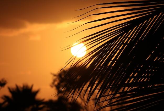 Schattenbild des kokosnusspalme-blattes gegen sonnenuntergang auf goldenem himmel von osterinsel, chile Premium Fotos