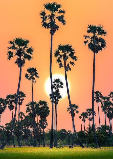 Schattenbild von zuckerpalmen und von reisfeld auf schöner himmeldämmerungszeit. Premium Fotos